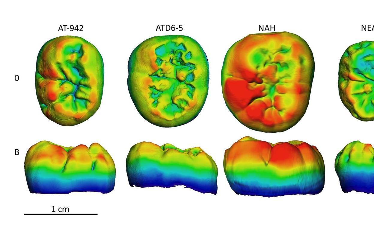 Los molares de los individuos de la Sima de los Huesos (Atapuerca) comparten características del tejido dental con Homo antecessor y los neandertales